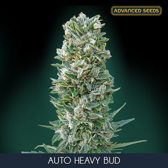 Auto Heavy Bud (Advanced Seeds) féminisée