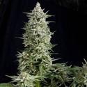 Amnesia Gold (Pyramid Seeds) féminisée