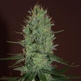 Amnesia Haze (Expert Seeds) féminisée