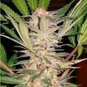 S.A.D. S1 (Sweet Seeds) féminisée