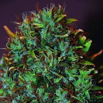Expert Haze (Expert Seeds) féminisée