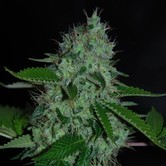 White Widow (Expert Seeds) feminized