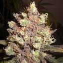 LSD Poison (Expert Seeds) féminisée