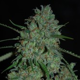 Afghan Skunk (Expert Seeds) feminized