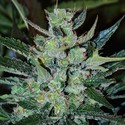 Jack Herer Auto (Expert Seeds) feminized
