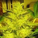 Caramella Auto (Expert Seeds) féminisée