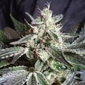 Black Jack (Sweet Seeds) féminisée