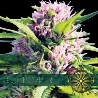 Blue Power (Vision Seeds) féminisée