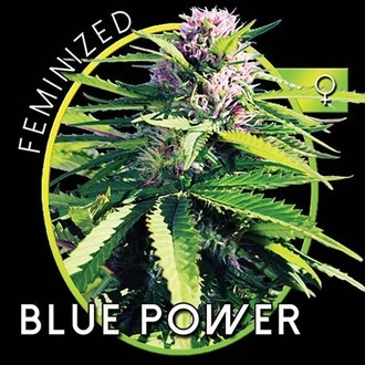 Blue Power (Vision Seeds) féminisée