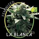 La Blanca Gold (Vision Seeds) féminisée