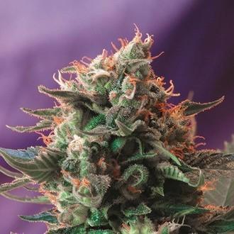 Jack 47 (Sweet Seeds) féminisée