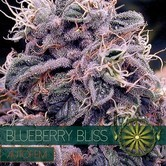 Blueberry Bliss Autoflowering (Vision Seeds) féminisée