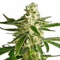 White Diesel Haze Automatic (White Label) féminisée