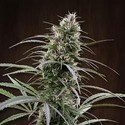 Congo (ACE Seeds) feminized