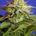Green Poison (Sweet Seeds) féminisée