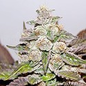 Mendocino x Purple Kush (Medical Seeds) féminisée
