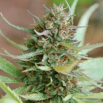 Strawberry Blue (World of Seeds) féminisée