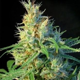 Psicodelicia (Sweet Seeds) féminisée