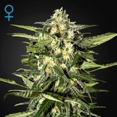 Jack Herer Auto (Greenhouse Seeds) féminisée