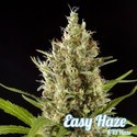 Easy Haze (Philosopher Seeds) féminisée