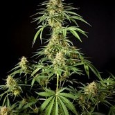 Gokunk (Philopher Seeds) feminized