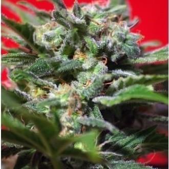 Ganesh Spirit (Sweet Seeds) féminisée