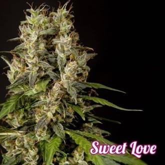 Sweet Love (Philosopher Seeds) féminisée