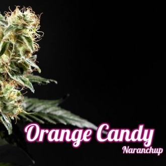 Orange Candy (Philosopher Seeds) féminisée