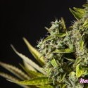 Naranchup (Philosopher Seeds) féminisée