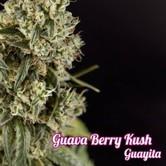Guayita (Philosopher Seeds) femminizzata