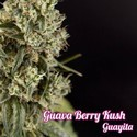 Guava Berry Kush (Philosopher Seeds) féminisée