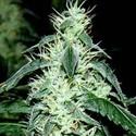 Hash Heaven (Soma Seeds) féminisée