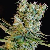 1 Graine Genehtik Seeds