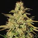Jacky White (Paradise Seeds) féminisée
