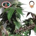 Buddha Kush OG (Big Buddha Seeds) féminisée