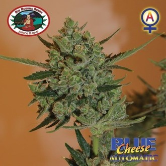Blue Cheese Automatic (Big Buddha Seeds) féminisée