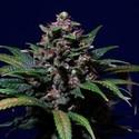 Sweet Purple (Paradise Seeds) féminisée