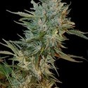 Haze Gom (Grass-O-Matic) féminisée