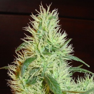 White Widow (Homegrown Fantaseeds) féminisée