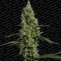 Atomical Haze (Paradise Seeds) féminisée