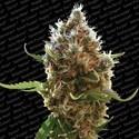 Lucid Bolt (Paradise Seeds) féminisée