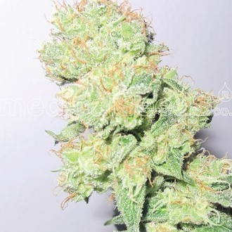 Y Griega CBD (Medical Seeds) féminisée
