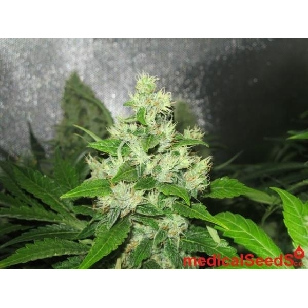 Y griega cbd medical seeds f minis e zamnesia for Y griega exterieur
