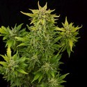 Fruit Autoflowering (Dinafem) féminisée