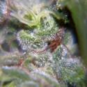 Nev. Haze (Female Seeds) féminisée