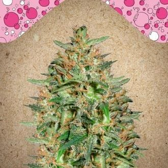 BubbleGummer (Female Seeds) féminisée
