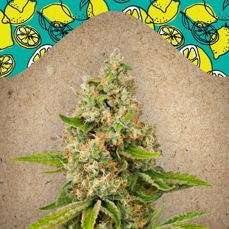 Lemon Kush (Female Seeds) féminisée