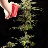 Cheese Autoflowering
