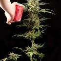 Haze Autoflowering (Dinafem) féminisée