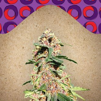 Red Purps (Female Seeds) féminisée